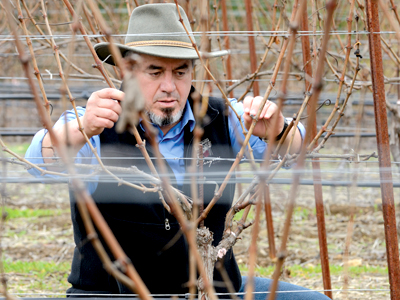 Rolando Herrera inspects his grape vines in Napa Valley. The Herrera family is living their dream by supporting a local non-profit that helps Latino families. Photo: Marissa Carlisle